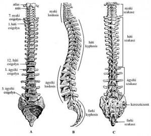 A gerinc görbületei