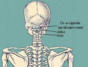 Nyaki gerinc felépítése